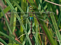 Emperor dragonfly - Anax imperator.