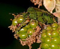 Green Shield Bug - Palomena prasina (5th Instar)