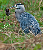 Heron - Ardea cinerea with Water vole