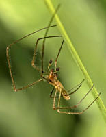 Long-jawed orb web spider - Tetragnatha extensa