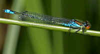 Small Red-eyed damselfly - Erythromma viridulum (male)