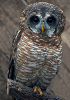 African wood owl - Strix woodfordi
