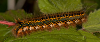 Caterpillar of The drinker moth - Euthrix potatoria
