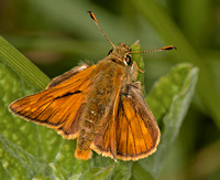 Large skipper - Ochlodes venata (male)