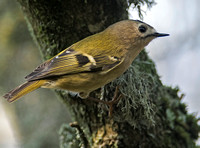 Goldcrest and Firecrest