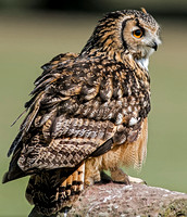 African spotted Eagle Owl - Bubo africanus