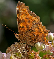 Comma - Polygonia C - album