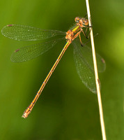 Emerald damselfly - Lestes sponsa (female)
