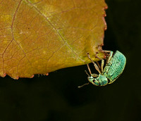 Birch weevil - Polydrusus formosus