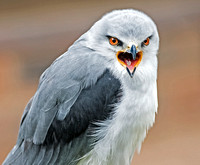 Black shouldered kite - Elanus axillaris