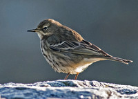 Rock pipit - Anthus spinoletta