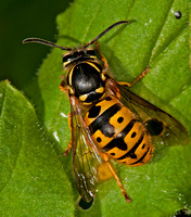 German wasp - Vespula germanica (queen)