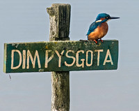 Kingfisher - Alcedo atthis on the NO FISHING sign