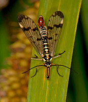 Scorpionfly - Panorpa sp