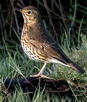 Song thrush - Turdus philomelos