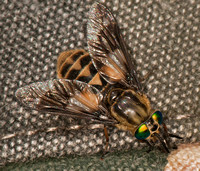 Horse fly - Chrysops relictus