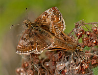 Dingy skipper - Erynnis tages