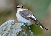 Pied flycatcher - Ficedula hypoleuca (female).