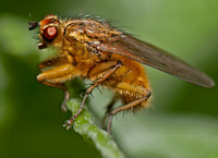 Yellow dung-fly - Scathophaga stercoraria