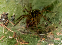 Labyrinth spider - Agelena labyrinthica