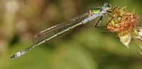 Emerald damselfly - Lestes sponsa (male)