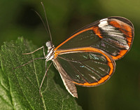 Glasswing - Greta oto