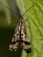 Scorpion fly - Panorpa sp