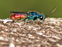 Ruby-tailed wasp - Chrysis ignita